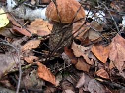 природа, грибы, подосиновик
