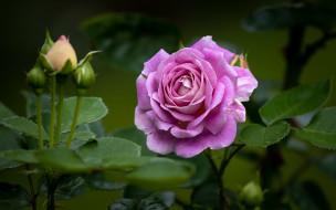 цветы, розы, лиловый