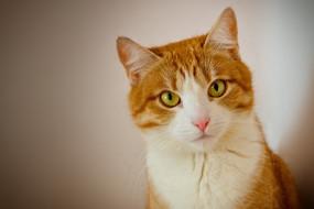 животные, коты, кот, рыжий, взгляд