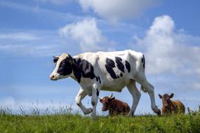 животные, коровы,  буйволы, луг, трава, стадо