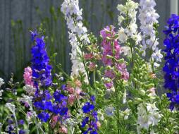 цветы, дельфиниум, лето, 2020