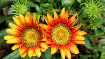 цветы, газания, дуэт, макро