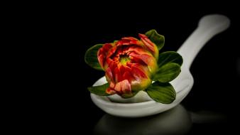 цветы, георгины, ложка, бутон