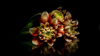 цветы, георгины, двухцветные, бутоны