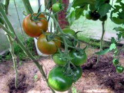 природа, плоды, помидоры