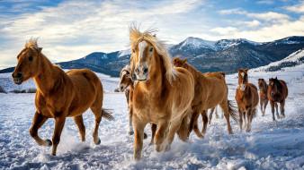 обои для рабочего стола 3840x2160 животные, лошади, табун, снег, зима, горы