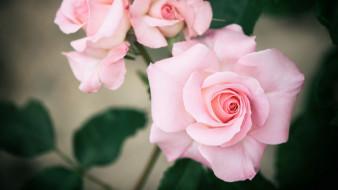 цветы, розы, нежный, розовый