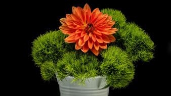 цветы, георгины, оранжевый, георгин, зелень