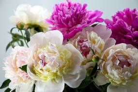 цветы, пионы, бело-розовые