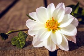 цветы, георгины, белый, георгин, макро