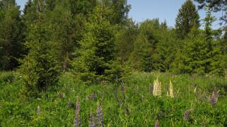 поляна обои для рабочего стола 3528x1984 поляна, природа, пейзажи, лето, цветы, ели, лес