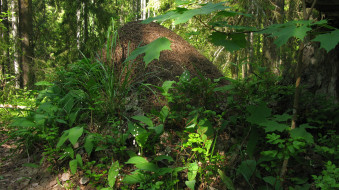 муравейник, природа, лес, лето, ели, деревья, ландыши