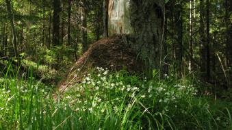 лес, природа, лето, муравейник, ели, деревья