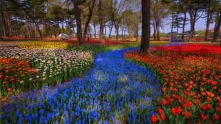 природа, парк, тюльпаны, мускари, весна