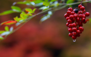 природа, ягоды, красные, гроздь