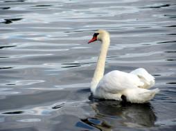 обои для рабочего стола 2816x2112 животные, лебеди, птица, лебедь, вода