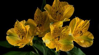 цветы, альстромерия, желтый