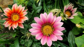цветы, газания, макро