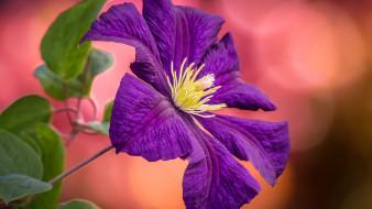 цветы, клематис , ломонос, лиловый, клематис, макро