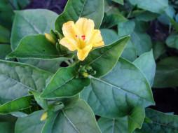 цветы, цветок, желтый, листья, бутоны