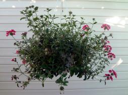 цветы, горшок, стена, куст
