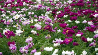 цветы, пионы, цветник, древовидные
