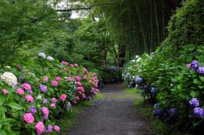 природа, парк, тропинка, гортензии