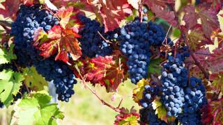 грозди, виноград, ягоды, листья
