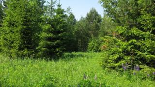 лето, поляна, ели, лес, цветы, трава