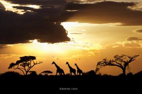 животные, жирафы, деревья, саванна, силуэты, закат