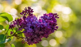 цветы, сирень, ветка
