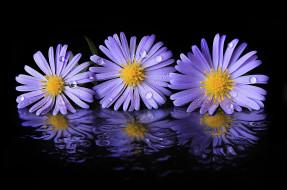 обои для рабочего стола 2048x1357 цветы, астры, трио, отражение, капли