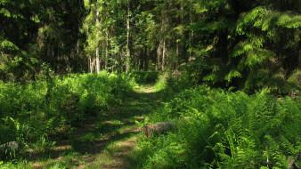 лесная тропа, природа, лес, лето, тропинка, деревья, ели, папоротник, тайга, карелия