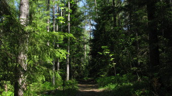 лесная тропа, природа, лес, лето, тропинка, деревья, ели, тайга, карелия