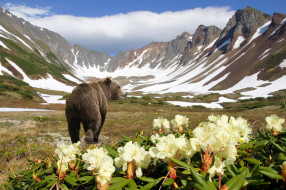 животные, медведи, природа, медведь, горы, камчатка, россия