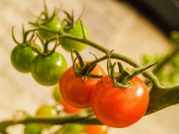 природа, плоды, помидоры, ветка