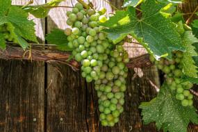 природа, ягоды,  виноград, грозди, виноград, зеленый, листья