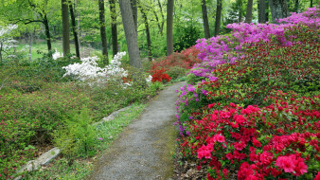 природа, парк, тропинка, азалия, кусты