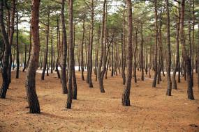 природа, лес, сосновый