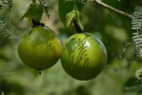 природа, плоды, маракуйя
