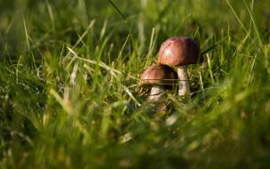 природа, грибы, трава, дуэт