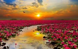 цветы, лотосы, закат, небо, вода, красота, отражение, тучи, облака, солнце, птица, пейзаж