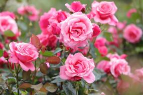 цветы, розы, куст, розовый