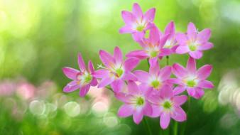 цветы, зефирантесы, розовый, зефирантес, боке