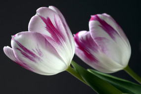 цветы, тюльпаны, дуэт