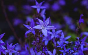 цветы, колокольчики, синий