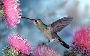 животные, колибри, птица, полет, цветы