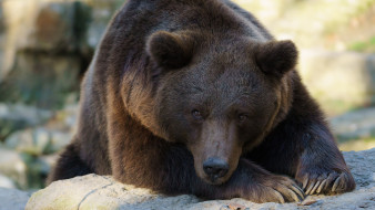 животные, медведи, медведь, бурый, гризли, кодьяк, животное, хищник, млекопитающее, хордовые