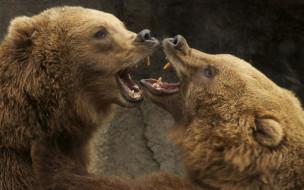 животные, медведи, два, борьба, бурый, гризли, кодьяк, животное, хищник, млекопитающее, хордовые