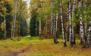 природа, лес, березы, елки, осень, листопад